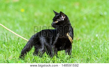 small black cat, five months, walking on the street on a yellow ropes course leash, standing on green grass, yellow eyes cold and thoughtful, sunny day, a shiny coat,  profile photo in full growth
