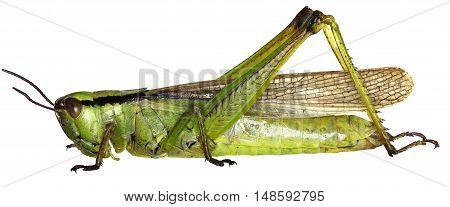 Leek Grasshopper on white Background  -  Mecostethus parapleurus (Linnaeus, 1758)