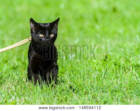 small black cat, five months, walking on the street on a yellow ropes course leash, standing on green grass, yellow eyes attentive, sunny day, a shiny coat, portrait snout