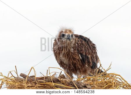 young eagle in the nest isolated on white background