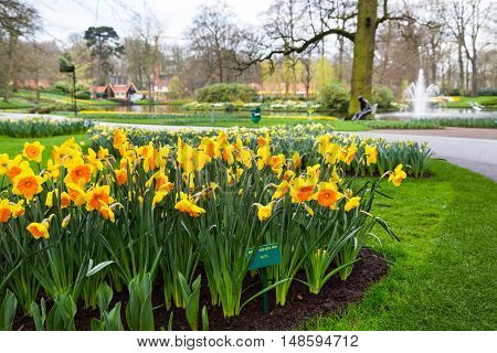 Flower bed with yellow daffodil flowers blooming in spring garden Keukenhof, Lisse, Netherlands