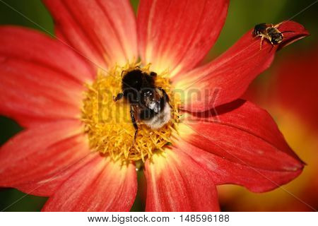 A bee and a bumblebee sitting and a of a red flower Dahlia coccinea.