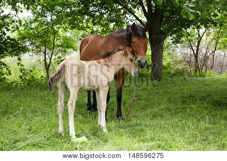 farm horse standing on a meadow, foal and adult horse