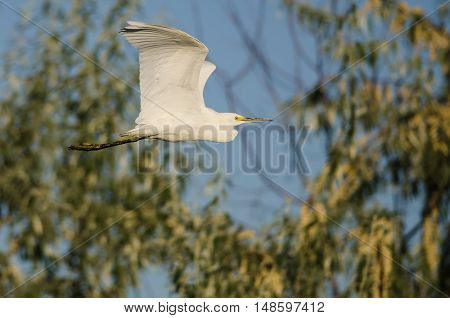 Snowy Egret Flying Among the Trees of the Marsh