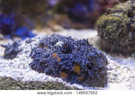 Scorpionfish Close Up