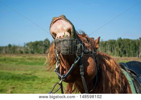 Horse sniffing the air and showing teeth