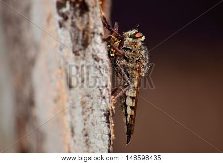 Robber fly with wasp under the claws