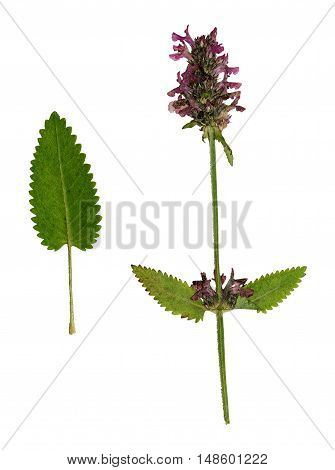 Pressed and dried bright flower purple loosestrife. Isolated on white background. For use in scrapbooking floristry (oshibana) or herbarium