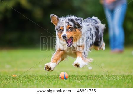 Australian Shepherd Dog Jumping For A Ball