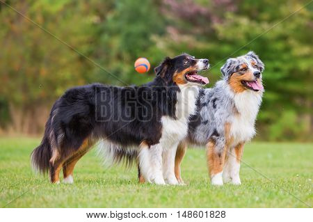 Two Australian Shepherd Standing Together While A Ball Flying Past