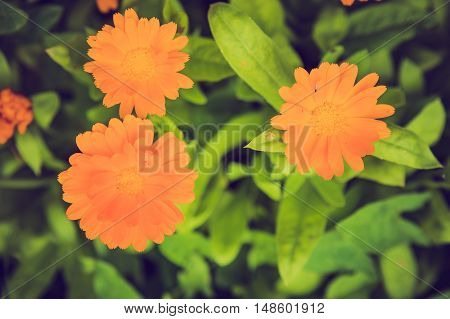 Vintage Photo Of Beautiful Calendula Flower