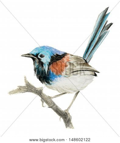 Lovely fairywren (malyur) sitting on a branch. Color pencil drawing