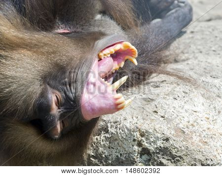 Male gelada baboon Theropithecus gelada show his teeth