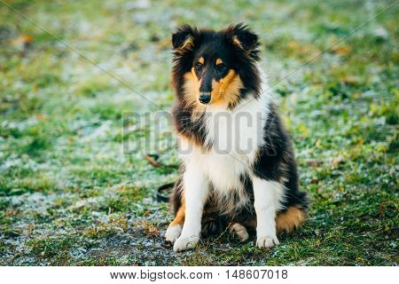 Small Young Shetland Sheepdog, Sheltie, Collie Puppy Sit In Grass Outdoor