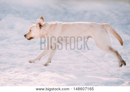 Young funny female labrador dog playing outside, running on snow, winter season. Sunny day