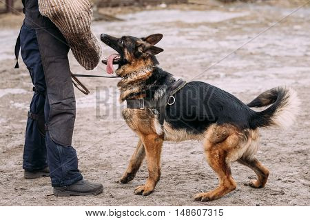 German shepherd dog training. Biting dog. Alsatian Wolf Dog. Deutscher, dog