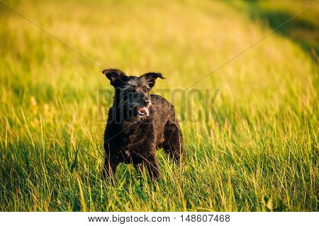 Funny Small Size Black Dog In Summer Sunset Sunrise Meadow Or Field