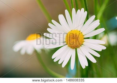 Close View Of Chamomile Or Matricaria, Beautiful Blooming Garden And Decorative White Flower With Yellow Inflorescence In The Center In Summer Spring.
