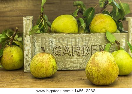 fresh organic green pears from the garden some pears in front of a wooden box