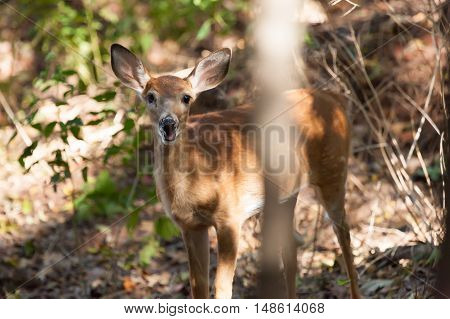 Female Whitetailed Fawn