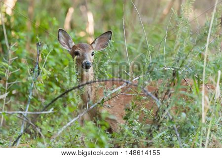 Whitetailed Female Fawn
