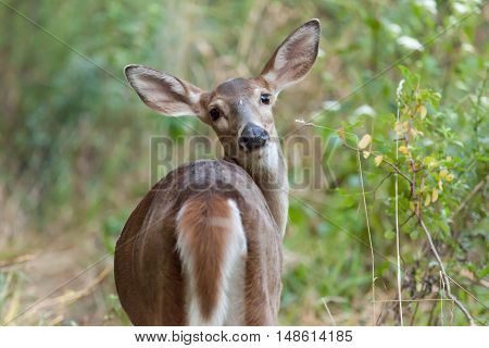 Whitetailed Doe In Woods
