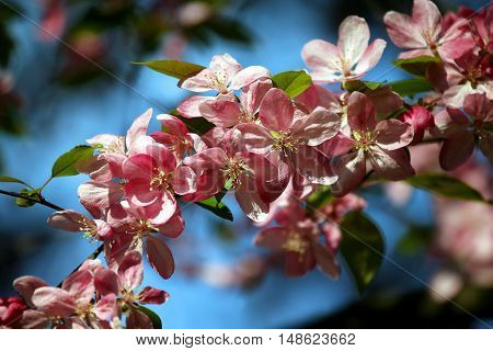 the pink cherry blossoms in the sun