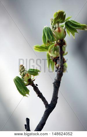 beginning of flowering chestnut in soft background