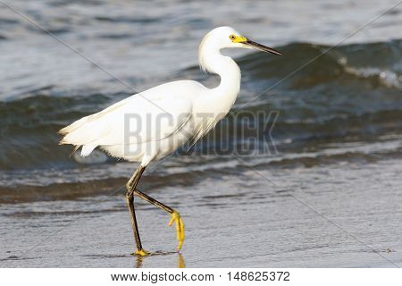 Snowy Egret walking on the beach with ocean and waves in the background