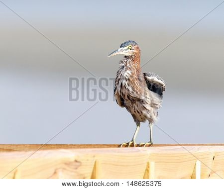 Close up of a green heron sitting on a wooden rail with copy space for text