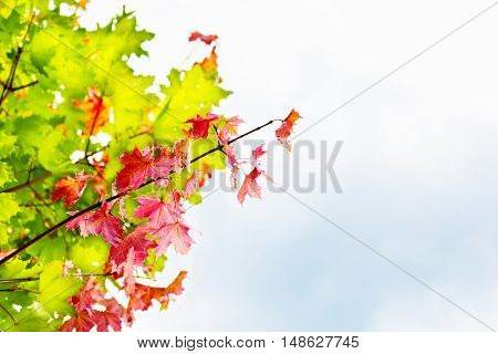 Branch with red maple leaves on autumn sky background copyspace. Fall leaves background.