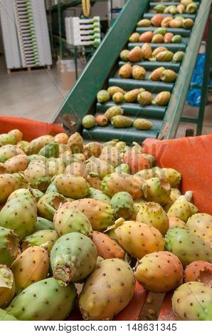 Just picked prickly pears piled in the conveyor belt ready for the working and packaging process