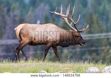 Wild Bull Elk Jasper National Park Alberta Canada