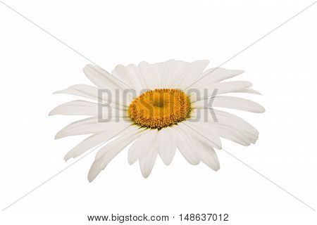 daisy objects flower on a white background