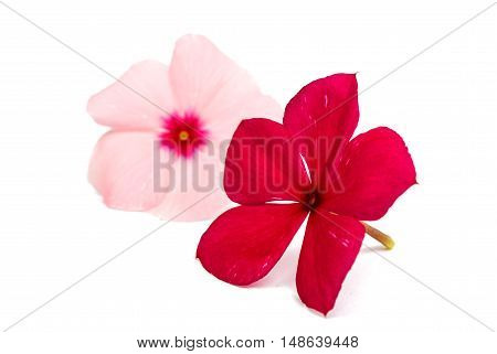 vinca rosea Flower Catharanthus roseus Madagascar periwinkle on white background