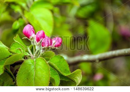 Closeup of the branch of an old and wild apple tree with beautiful red buds in a nature reserve in the beginning of the summer season.