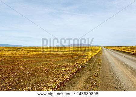 Brown Road With Yellow Fields In The Flat Landscape That Is Tankwa Karoo