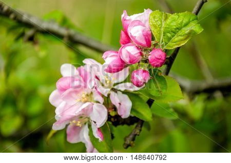 Closeup of the white pink and red buds and blossoms of an old and wild apple tree in nature reserve in the beginning of the summer season.
