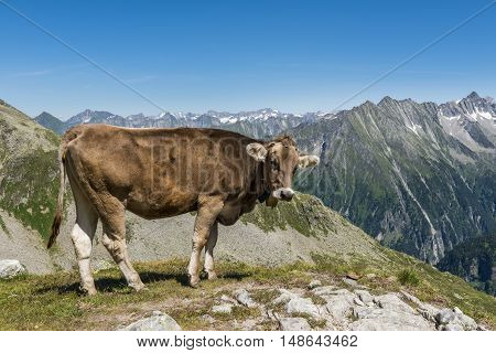 Cow in the Austrian mountains - Zillertal - in the summer time.
