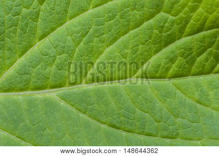 Detail of a small green leaf texture.