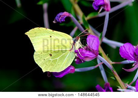 Brimstone butterfly on a purple flower looking for nectar