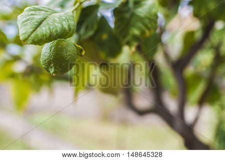 A green lemon is hiding from the sun