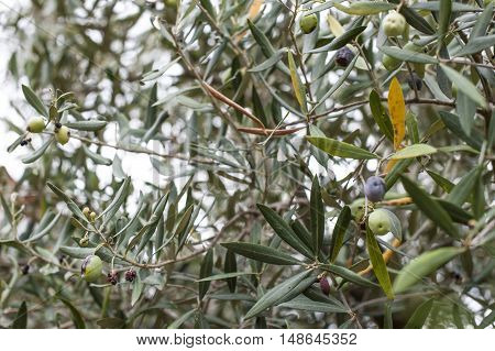Olive leaves hanging from an olive wood