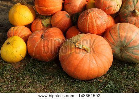 Ripe bright pumpkin lie on the ground after harvest.