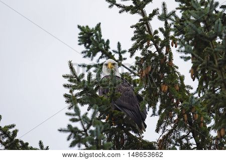 Wild Bald Eagle on the coast Haida Gwaii British Columbia Canada