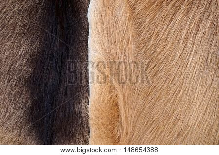 Close Up Of Cow's Skinned  Genuine Natural Brown Fur