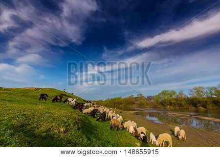 Pastoral scenery with flock of sheep and goats on river bank, in spring