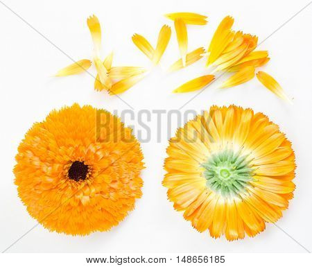 Calendula or marigold flowers and petals on the white background.
