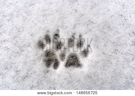 Traces of two dog paw on white background fresh snow in winter