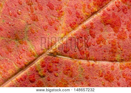 A Red Maple Leaf with water Close Up